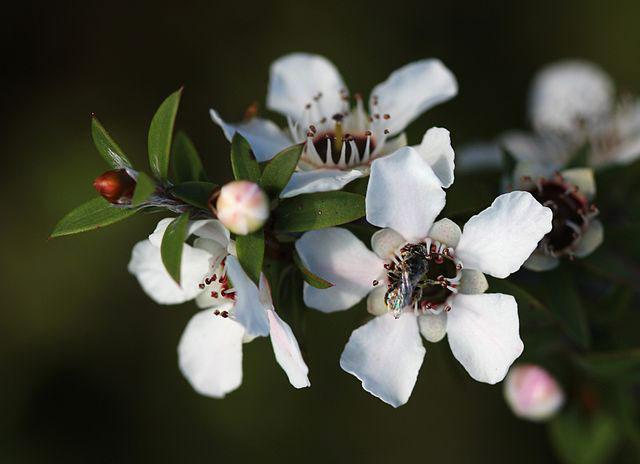 Manuka_flowers
